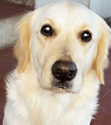 Cómo alimentar a un cachorro Golden Retriever