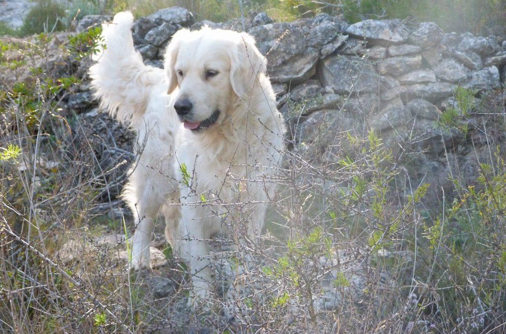 Perros Golden retriever  y otras razas , problemas de piel