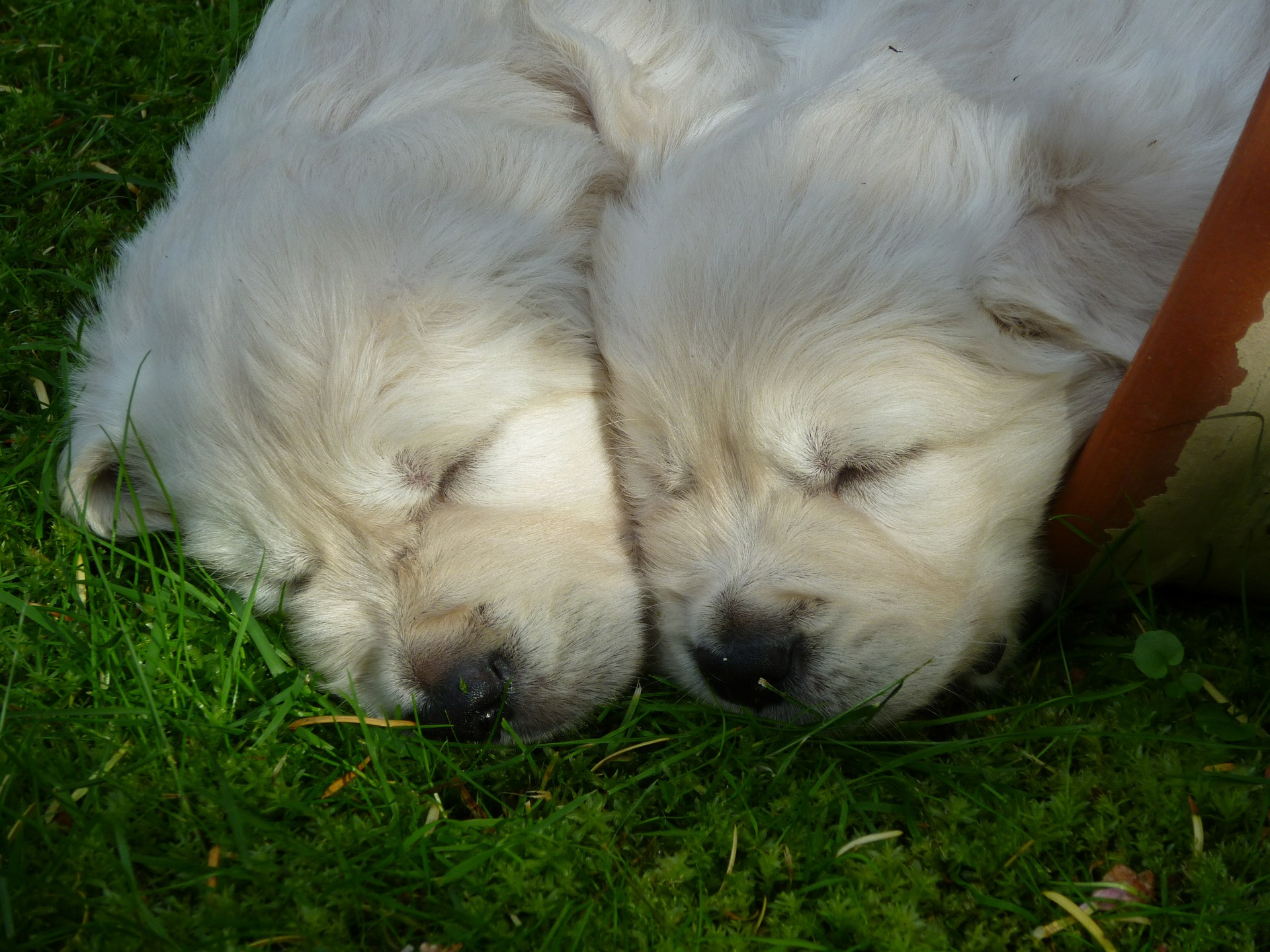 Condiciones que debes cumplir si quieres adquirir cachorros golden retriever