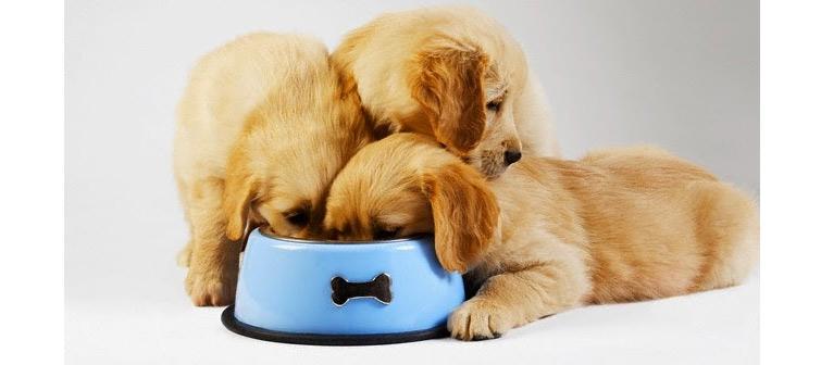 Como la alimentación puede influir en el caracter de un Golden Retriever